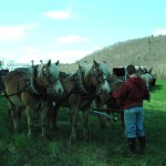 The Haflinger team