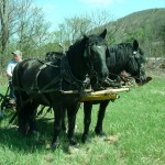 Loren Coit and his Percherons