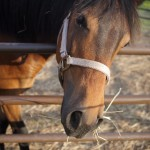 Colton - a Pony/Quarter Horse Mix ready for adoption