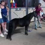 Alicia's Miniature Horse - Rajah