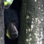 Black bear with tree by Michelle Buntin