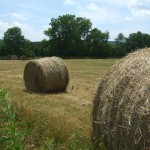 Round bales drying in the field