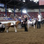 Miniature Horse line-up