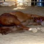 Horse begins roll