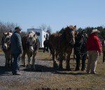 Draft horse teams waiting to compete