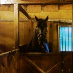 Pepper in her stall