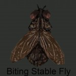 Biting Stable Fly