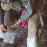 Farrier Kenny Bellis trimming Shadow's hoof