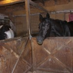 Pepper in her stall at Ballentine's Horse Heaven