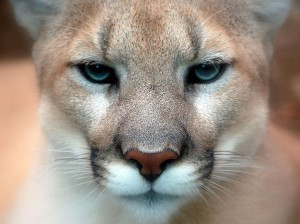 """Those Eyes"" photo of a mountain lion taken by Art G at Philadelphia Zoo"